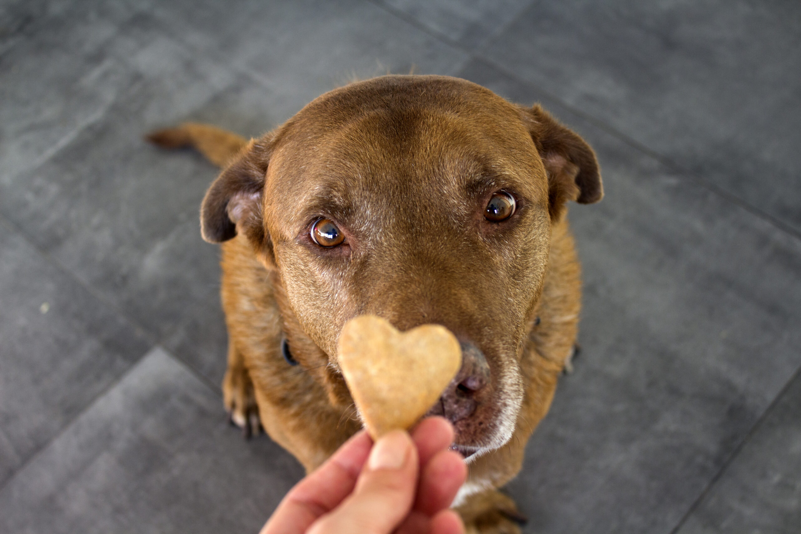 Dog getting a snack. Adult mixed Labrador dog eating cookie. Gray background. Close up portrait of cute brown dog.